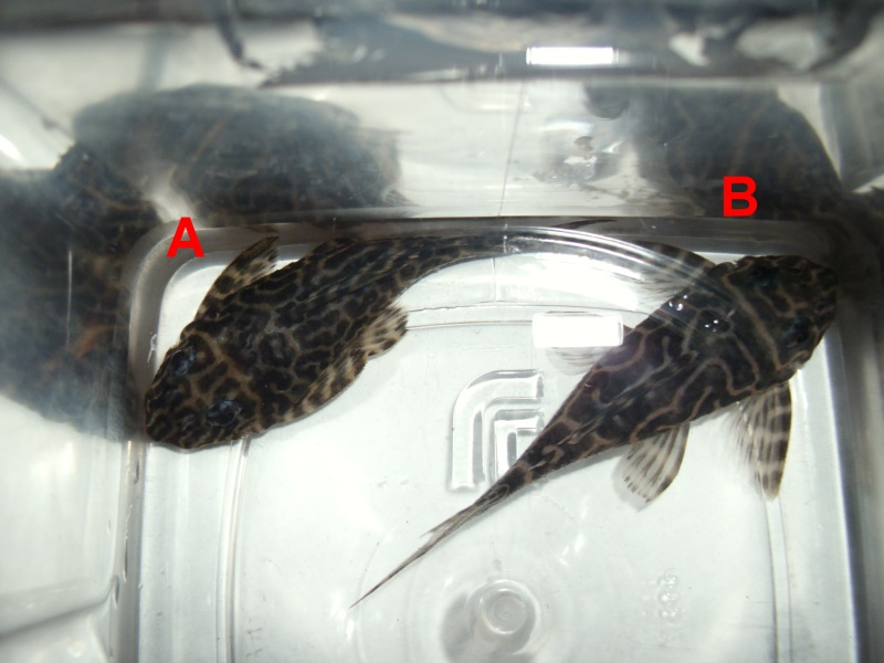 how to tell if game fish is male or female